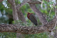 Rufescent Tiger-heron Tigrisoma lineatum standing on branch, Pantanal, Brazil