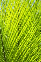 Close_up of palm leaves