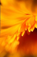 Close_up of a yellow flower