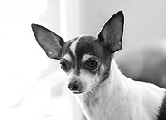 A chihuahua, head and shoulders