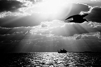 Bird flying over the ocean with a ship in the background, Key West, Florida, USA