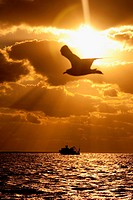 Bird flying over the ocean at sunset, Key West, Florida, USA