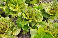 Cos lettuce Lactuca sativa var  longifolia