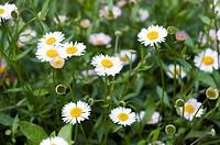 Fleabane Erigeron karvinskianus in flower.