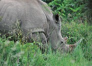 South Africa, Africa, Pilanesberg, national park, rhinoceros, animal