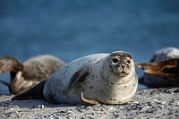 Common Seal, Phoca vitulina, lying on beach, Heligoland, Germany