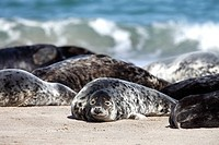 Grey Seals, Halichoerus grypus, group lying on beach, Heligoland, Germany