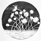 Zoophytes. Historical diagram drawn to depict microscopic ´zoophytes´ as seen by Robert Hooke 1635Çô1703 under an early microscope in 1665. Zoophyte i...