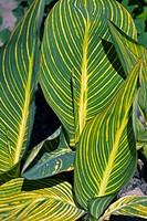 Calla sp. variegated foliage.