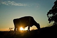 Cow grazing at sunset.