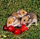 three young Golden Hamsters at cherries / Mesocricetus auratus