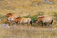 Przewalskis Horses on meadow