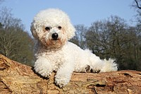 Bichon Frise dog _ lying