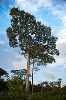 South America, tall trees growing in Amazon Rainforest