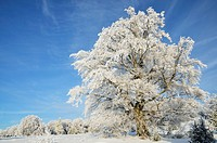 Beech tree with hoarfrost in winter