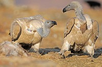 Cape vulture Gyps coprtheres