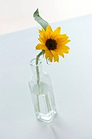 Sunflower Helianthus Annuus in glass vase