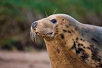 North Atlantic Grey Seal  Halichoerus grypus at the Donna Nook RAF bombing range National Nature Reserve  Lincolnshire  England Europe