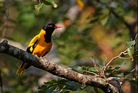 Black_hooded Oriole Oriolus xanthornus ceylonensis endemic race, adult male, perched on branch, Sri Lanka, december