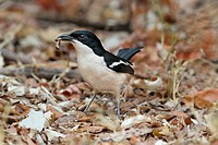 Tropical Boubou Laniarius aethiopicus adult, with food in beak, foraging amongst leaf litter, Chobe N P , Botswana