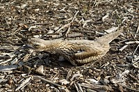 Bush Stone-curlew (Burhinus grallarius) guarding the nest. This is a native bird of Australia