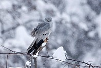 Montagu´s Harrier Circus pygargus adult male, perched on post in snowfall, on migration through mountains, Caucasus Mountains, Georgia, april