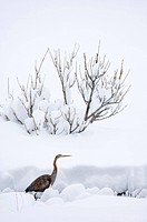 Purple Heron Ardea purpurea adult, walking in deep snow, migrant caught in bad weather, Great Caucasus, Caucasus Mountains, Georgia, april