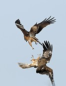 Black_eared Kite Milvus migrans lineatus two adults, fighting in flight, Hokkaido, Japan, winter
