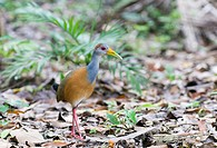 Grey_necked Wood_rail Aramides cajanea adult, walking on leaf litter in lowland tropical forest, Tikal N P , Peten, Guatemala