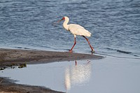 African Spoonbill Platalea alba adult, walking on riverbank, Okavango Delta, Botswana