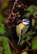 Blue Tit Parus caeruleus adult, feeding, hanging from Bramble Rubus fruticosus berries, Norfolk, England, november