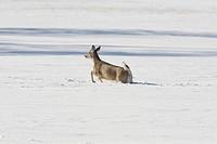 White_tailed Deer Odocoileus virginianus doe, running through deep snow, North Dakota, U S A , february