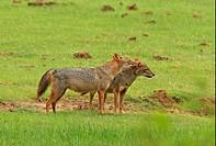 Golden Jackal Canis aureus adult pair, mutual grooming, standing in grassland, Yala N P , Sri Lanka, december