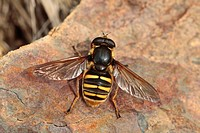 Hoverfly Sericomyia silentis adult female, basking on rock, Powys, Wales, september