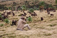 Wildlife photographer taking photos of Gelada Theropithecus gelada troop and Walia Ibex Capra walie herd, Simien Mountains, Ethiopia