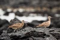 Ecuador, Galapagos, Santa Cruz Island, Two Whimbrel Numenius Phaeopus Husonicus birds walk along rocky shore.
