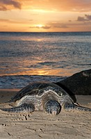 Hawaii, Oahu, Green Sea Turtle Chelonia mydas resting on sandy shore, Sunset over ocean.
