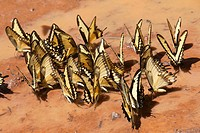butterflies sitting on ground and drinking water, Iguacu National Park, Argentina