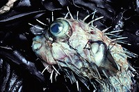 Close up of a dead porcupine fish Order Diodontidae lying on a bed of smelly seaweed