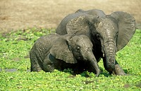 African Elephant Loxodonta africana - Two different aged calves having fun at a waterhole which is covered with Water Lettuce Pistia stratiotes  South...