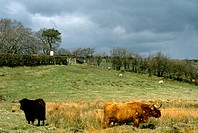 Near Cumnock Scotland Landscape &amp; West Highland Cow Highlands