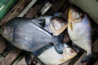 South America, Amazon, piranha fish