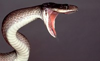 Threatening snake