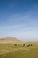 England, Derbyshire, Peak District National Park, sheep and cattle grazing in field