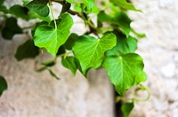 Vine on brick wall