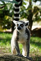 Lemur in Fuengirola´s Zoo Malaga, Costa del Sol, Andalusia, Spain
