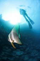 dusky batfish Platax pinnatus  This fish, also called the red-faced batfish, inhabits reefs in the tropical Indo-Pacific region, from the Red Sea to t...