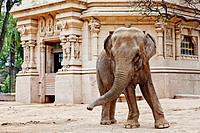 Elephant,Buenos Aires Zoo, Buenos Aires , Argentina