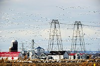 Large flock of snow goose in flight Chen Caerulescens around electric pylon  Quebec, Canada