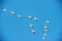 Snow goose in flight Chen Caerulescens Quebec, Canada